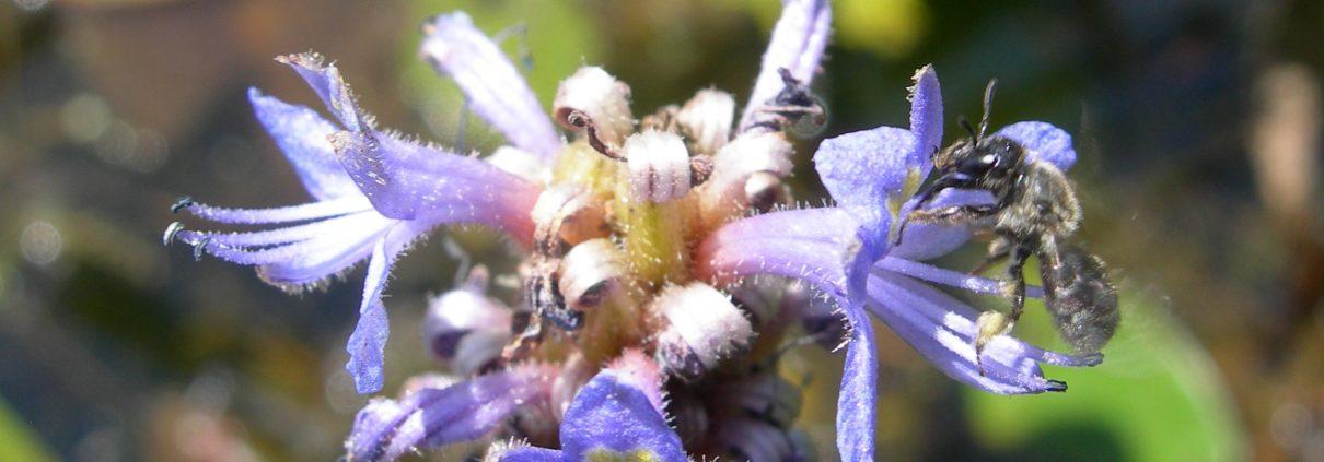 Dufourea bee on flower