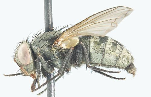 Pollenia griseotomentosa Calliphoridae Cluster fly