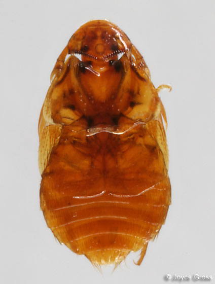 Platypsyllus castoris - Joyce Gross