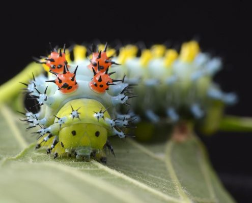 A gravid female Hyalophora cecropia was caught at Black Donald Lake near Calabogie, ON. She laid eggs in a flight cage in the lab which have hatched and continue to grow into very colourful larvae.