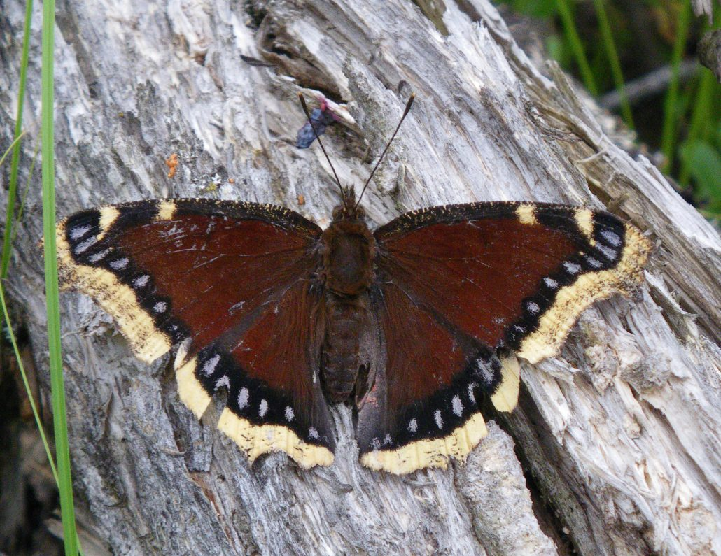 Image result for mourning cloak butterfly